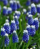 Мускари 10 MUSCARI TOUCH OF SNOW NEW
