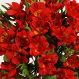 Alstroemeria Red 2шт