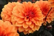 Dahlia Decorative Orange 1шт