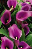 Calla Purple 1шт